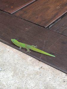 Cute lizard at Hotel Wailea