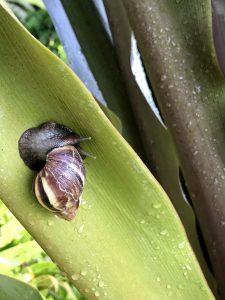 Cute snail at Hotel Wailea