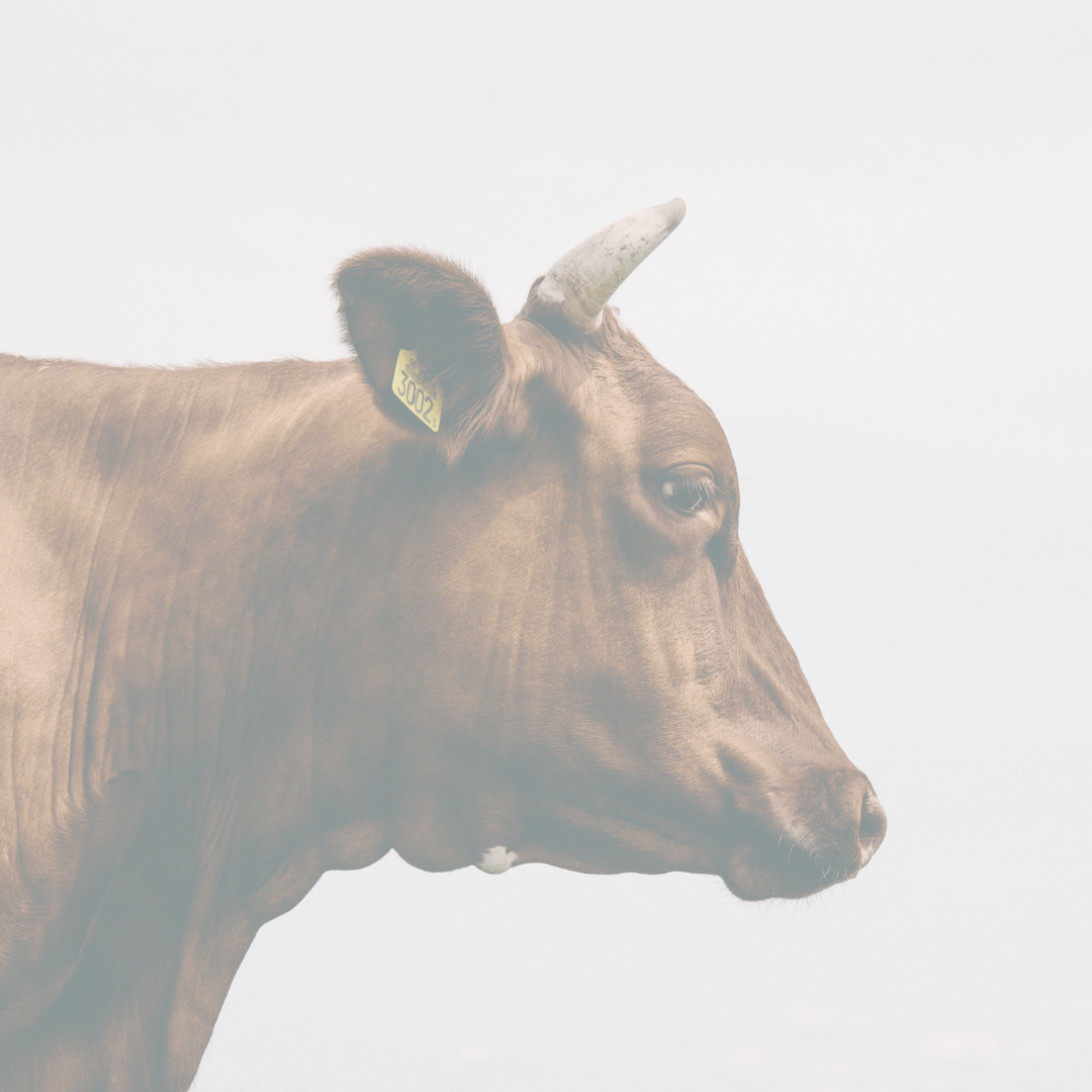 Brown cow with small horns and a yellow tag in their ear